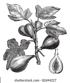 botanical illustration encyclopedia images stock photos vectors  mon fig or ficus carica vintage engraving old engraved illustration of mon fig showing