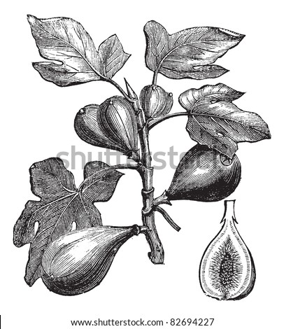 Common Fig Ficus Carica Vintage Engraving Stock Vector Royalty Free