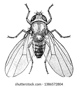 Common Fruit Fly is an insect in the Drosophilidae family, vintage line drawing or engraving illustration.