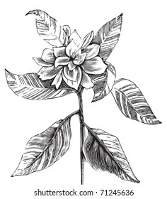 A common gardenia engraving illustration, in black and white, from Trousset encyclopedia 1886 - 1891.