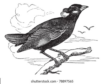 Common Hill Myna or Gracula religiosa or Mynah or Hill Myna, vintage engraving. Old engraved illustration of Common Hill Myna waiting on a branch. Trousset encyclopedia (1886 - 1891)