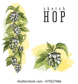 Common hop branch with leaves and cones. Beer hops element colorful sketch and engraving design hops plants. All element isolated, vertical border.