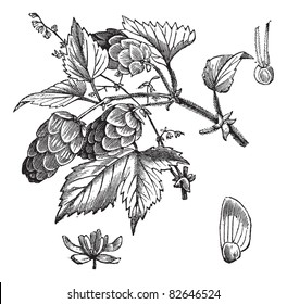 Common hop or Humulus lupulus, vintage engraving. Old engraved illustration of Common hop, leaves and flowers isolated on a white background. Trousset encyclopedia (1886 - 1891).
