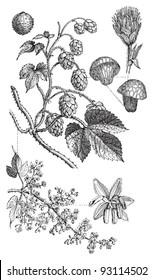 Common hop (Humulus Lupulus) / vintage illustration from Meyers Konversations-Lexikon 1897