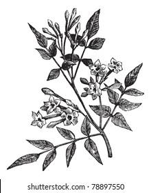 Common Jasmine or Jasminum officinale or Poet's Jasmine or Jessamine, vintage engraving. Old engraved illustration of Common Jasmine isolated on a white background. Trousset encyclopedia (1886 - 1891)