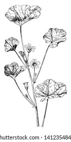 Common mallow can be found growing erect or prostrate, which may initially cause confusion because it's easy to assume they might be two different species, vintage line drawing or engraving