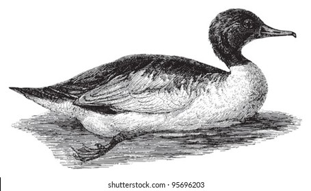 Common Merganser or Goosander (Mergus merganser) / vintage illustration from Meyers Konversations-Lexikon 1897