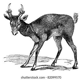 Common muntjac (cervulus vaginalis) or Barking deer or Common Muntjac or Red Muntjac or Indian Muntjac  vintage engraved illustration. Trousset encyclopedia (1886 - 1891).