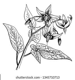The common name of Solanum Dulcamara is nightshade or bittersweet, also known as blue bindweed, Amara Dulcis, climbing nightshade, fellenwort, felonwood, poisonberry, poisonflower, and scarlet berry