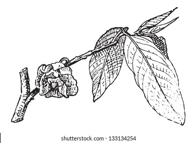Common Pawpaw or Asimina triloba, showing Flower, vintage engraved illustration. Dictionary of Words and Things - Larive and Fleury - 1895
