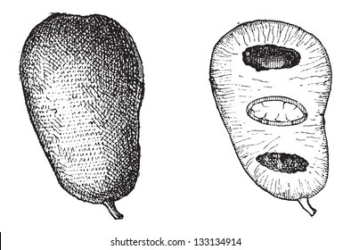 Common Pawpaw or Asimina triloba, showing Fruit (left) and fruit cross-section (right), vintage engraved illustration. Dictionary of Words and Things - Larive and Fleury - 1895