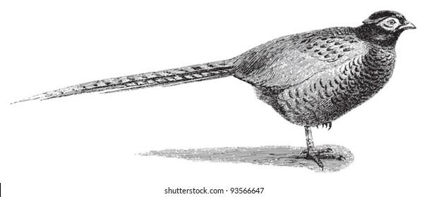 Common Pheasant (Phasianus colchicus) / vintage illustration from Meyers Konversations-Lexikon 1897