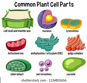 Common plant cell parts illustration