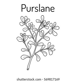 Common Purslane (Portulaca oleracea), or verdolaga, pigweed, little hogweed, red root, pursley. Hand drawn botanical vector illustration