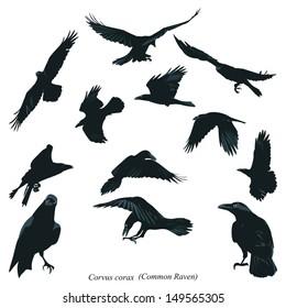 Common Raven Illustration
