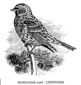 Common Redpoll is a species of bird in the finch family vintage line drawing or engraving illustration.