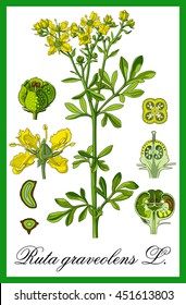 common rue herbal