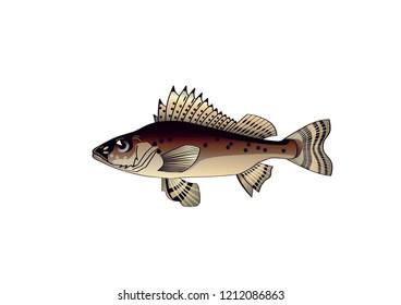 Common ruff (lat. Gymnocephalus cernuus) is a species of perch (Percidae), a type species of the ruff (Gymnocephalus).