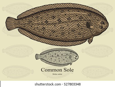 Common Sole, Dover Sole. Vector illustration with refined details and optimized stroke that allows the image to be used in small sizes (in packaging design, decoration, educational graphics, etc.)