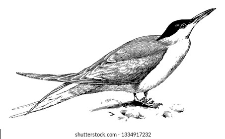 Common Tern occupying the coasts and inland waters of Europe, vintage line drawing or engraving illustration.