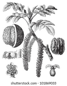 Common walnut (Juglans regia) / vintage illustration from Brockhaus Konversations-Lexikon 1908