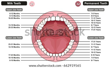 Diagram Of Mouth Jaw - Trusted Wiring Diagrams •