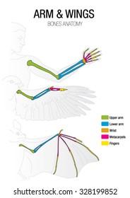 Comparison of the bones of the bat, bird and man