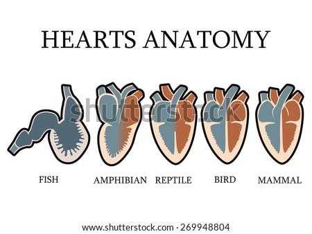 Comparison Cardiac Anatomy Vertebrates Simple Hearts Stock Vector