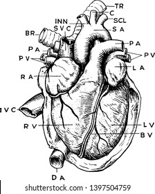 A complex anatomical view of the heart vintage line drawing or engraving illustration.