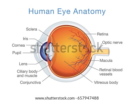 Components Human Eye Illustration About Anatomy Stock Vector