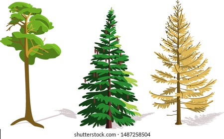 Coniferous trees pine, spruce, larch. In autumn, pine and spruce remain green, and the needles of larch change color to yellow.