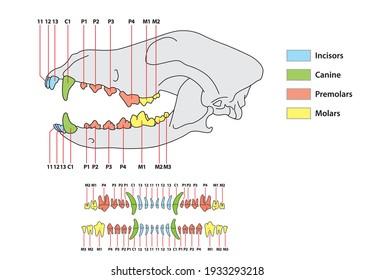 Construction d'une formule dentaire pour dents de chien