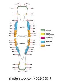 construction of a horse teeth dental formula