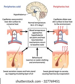 control of body temperature by the hypothalamus causing constriction or  dilation of skin capillaries and sweat