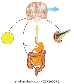 Control of food intake via hormones from the gut,adipose tissue and pancreas, and vagus nerve stimulation. Created in Adobe Illustrator.  Contains transparencies.  EPS 10.