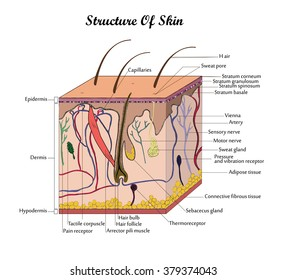 Human body skin anatomy diagram infographic stock vector royalty coor vector structure skin with signatures ccuart Image collections