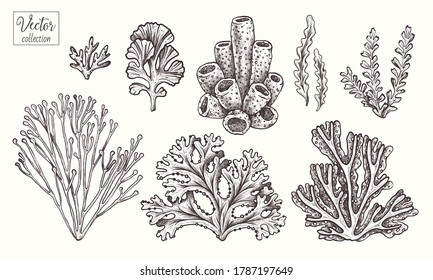 Corals and seaweed. Vector Hand Drawn. Sketch Botanical Illustration. Underwater flora, sea plants. Line art clipart