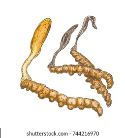 Cordyceps on a white background. Vector illustration.