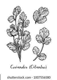 Coriander, also known as cilantro or Chinese parsley. Ink sketch set isolated on white background. Hand drawn vector illustration. Retro style.