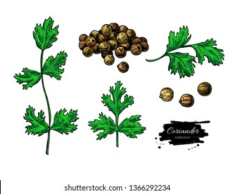Coriander vector hand drawn illustration set. Isolated spice object. Colorful seasoning. Detailed organic product sketch. Cooking flavor ingredient. Great for label, sign, icon