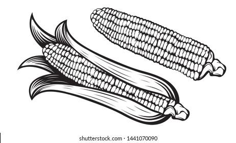 Corn cobs illustration. Sweet corn vector. Farm market. Organic agricalture. Field. Corn ear. Vegetarian. Ripe. Raw. Fresh. Healthy. Popcorn. Vegetable. Food. Isolated on white.