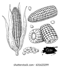Corn hand drawn vector illustration set. Isolated Vegetable engraved style object. Detailed vegetarian food drawing. Farm market product. Great for menu, label, icon
