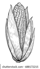 Corn illustration, drawing, engraving, ink, line art, vector