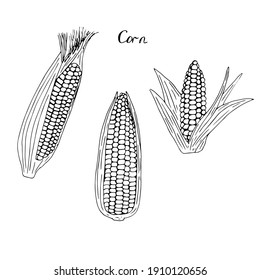 Corn with leaves set, vector illustration, hand drawing sketch