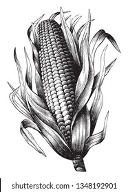It's corn in maize. They are covered with husk on both sides. The interior side is the kernel (fruit). The upper side has a silky part. The lower side is the shank it is thick and little bit long