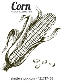 Corn, Maize or Zea mays, vintage engraving. Monochrome illustration with corn on a light background. Illustration, vector, isolated.