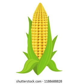 Corn on the cob, vector illustration. Corn on white isolated background.