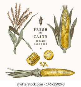 Corn on the cob vintage design set. Botanical corn. Vector illustration. Maize
