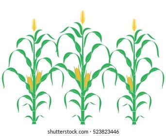 Corn plant. Abstract corn stalk on white background.  EPS 10. Vector illustration