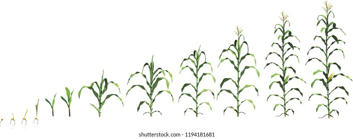 Corn plant growth stages